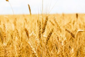 12000012 - gold wheat field