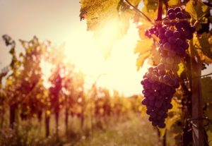 23648971 - vineyards at sunset in autumn harvest