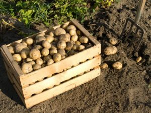 27472265 - potatoes in a wooden box fresh from the field