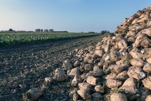 63398466 - sugar beet harvest. the pile of sugar beet.